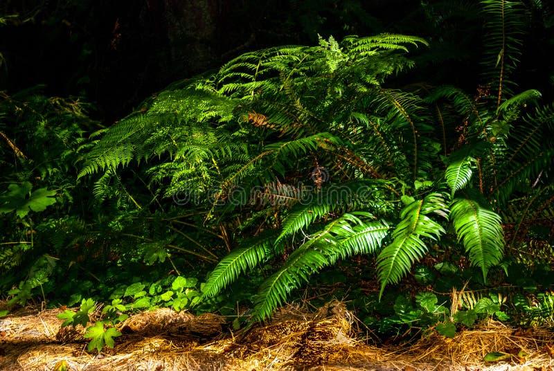 雨林剑蕨 免版税库存图片