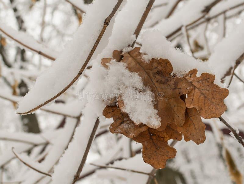 雪与干燥叶子的橡木分支 图库摄影