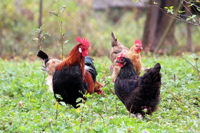 雄鸡身分和守卫母鸡在地方庭院里,当吃绿草和其他小植物时 库存图片