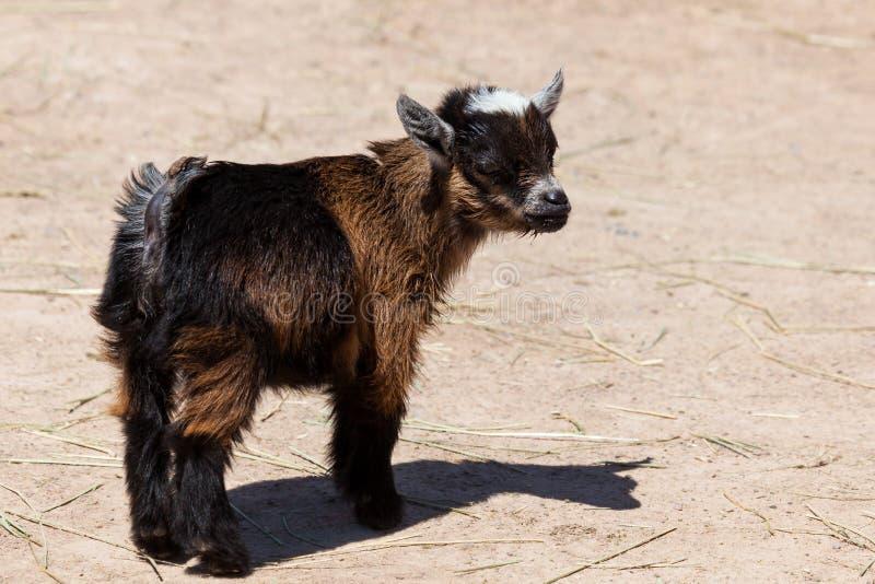 逗人喜爱的小的小山羊 库存图片
