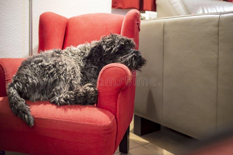 逗人喜爱的良种黑小髯狗在红色儿童的椅子睡觉,在一盏落地灯的光下,在一个舒适家 图库摄影