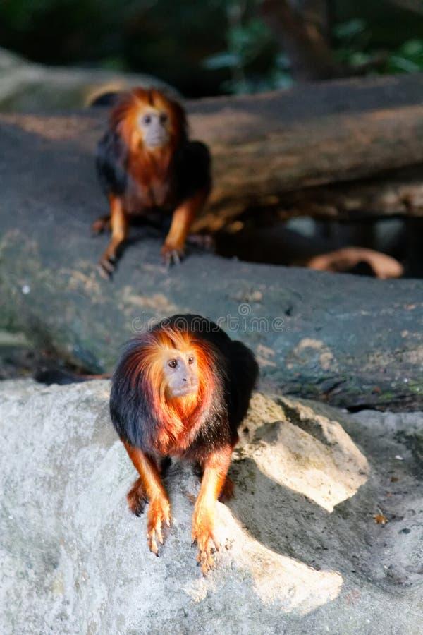 逗人喜爱的golden-headed狮子绢毛猴 免版税库存图片