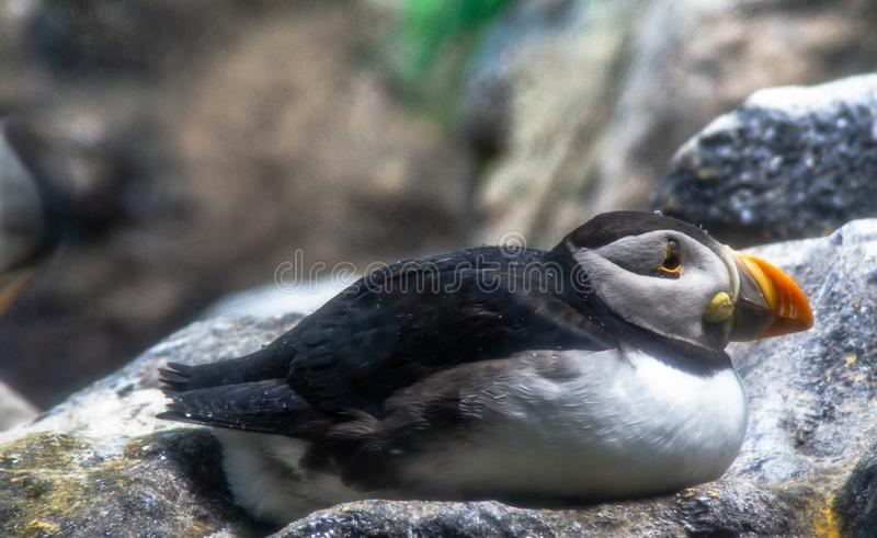选址在动物园的海鹦在西班牙 免版税库存照片