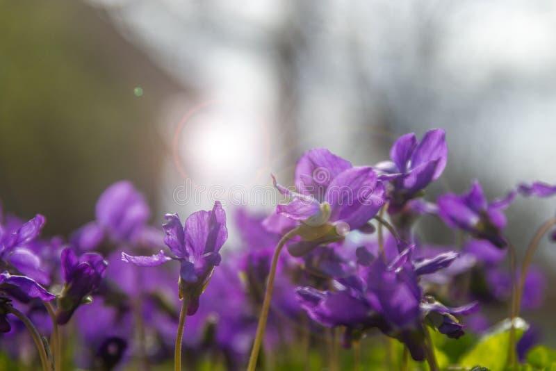 É mola! Violetas perfumes da mola! foto de stock