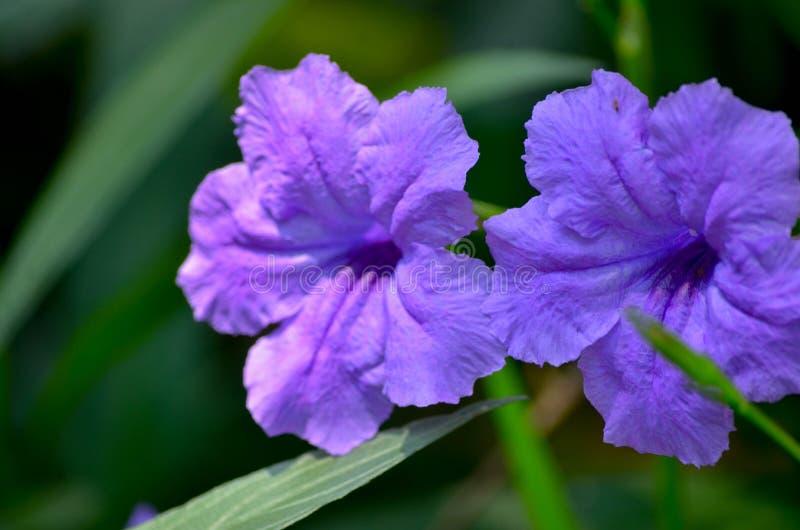 É uma espécie de planta de florescência na família de acanthus imagem de stock