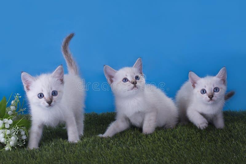 Ébat thaïlandais de chatons dans le pré photo stock