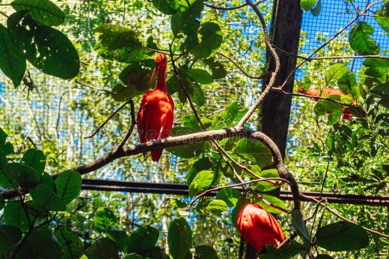 Écarlate IBIS chez Parque DAS Aves photos libres de droits