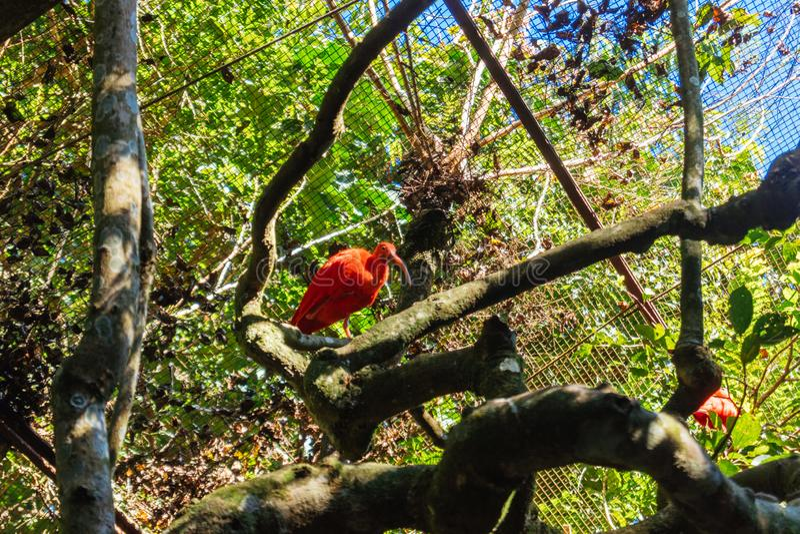 Écarlate IBIS chez Parque DAS Aves photographie stock libre de droits