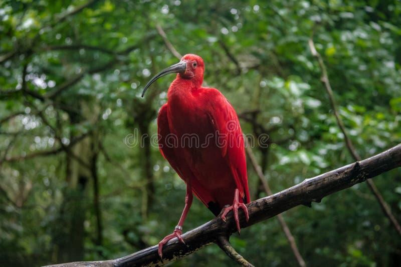 Écarlate IBIS chez Parque DAS Aves - Foz font Iguacu, Parana, Brésil photos libres de droits