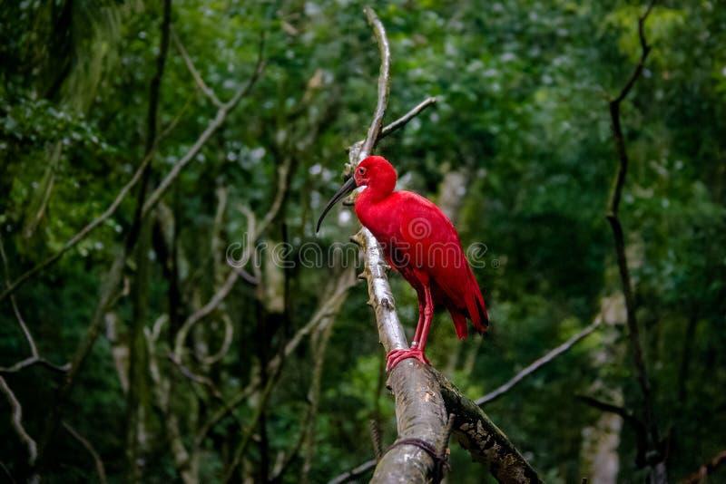 Écarlate IBIS chez Parque DAS Aves - Foz font Iguacu, Parana, Brésil images libres de droits