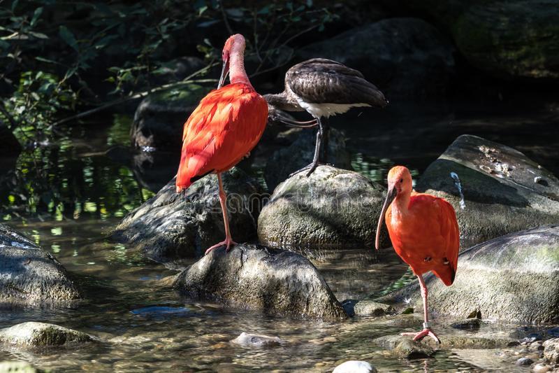 Écarlate IBIS, ruber d'Eudocimus Animal de faune dans le zoo photo stock