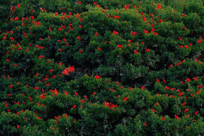 Écarlate IBIS, ruber d'Eudocimus, oiseau rouge exotique, habitat de nature, colonie d'oiseau s'asseyant sur l'arbre, marais de Ca image libre de droits