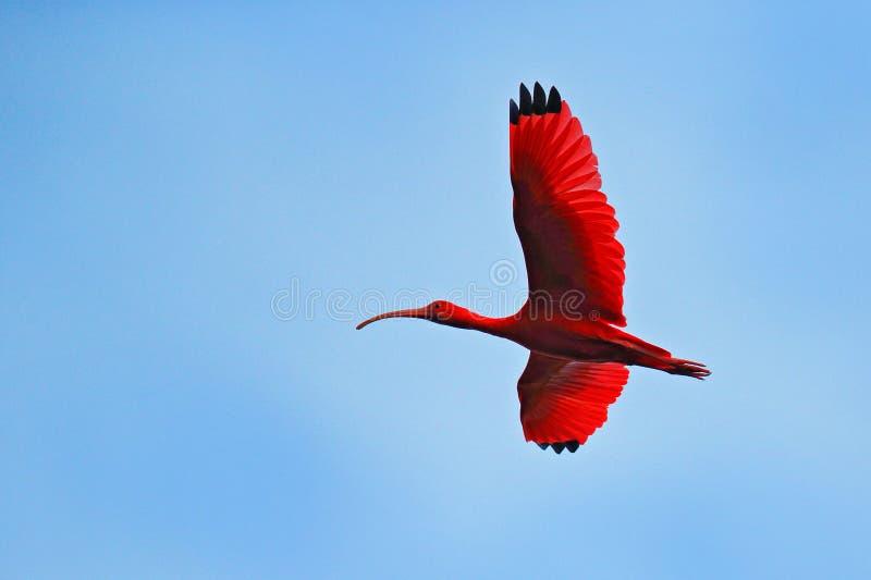 Écarlate IBIS, ruber d'Eudocimus, oiseau rouge exotique, habitat de nature, colonie d'oiseau s'asseyant sur l'arbre, marais de Ca photo stock