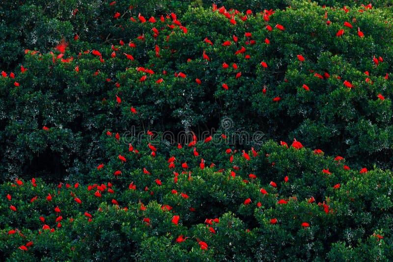 Écarlate IBIS, ruber d'Eudocimus, oiseau rouge exotique, habitat de nature Grande colonie d'oiseau s'asseyant sur l'arbre, le mar photo stock