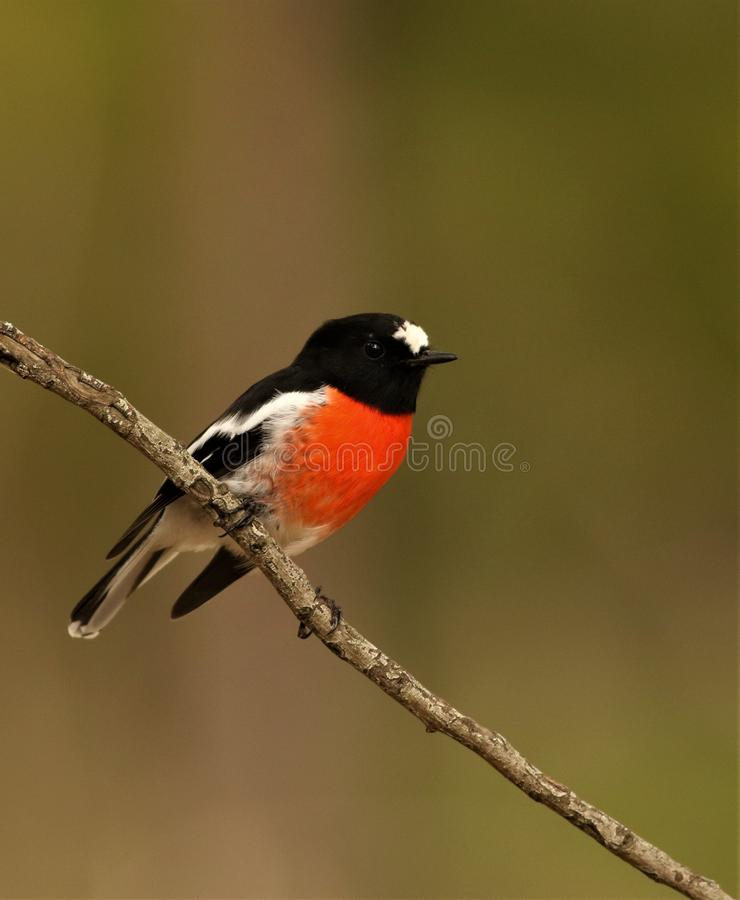 Écarlate masculine Robin dans le buisson photo libre de droits