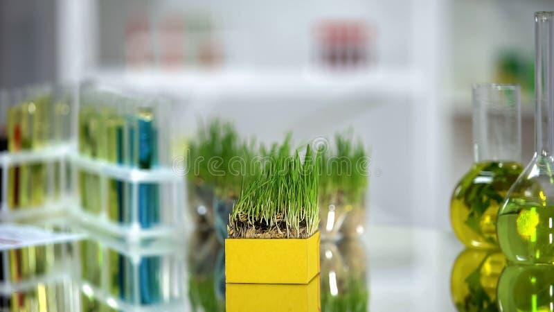 Échantillon et tubes de Wheatgrass avec des engrais colorés d'anf de pesticides sur la table de laboratoire image stock