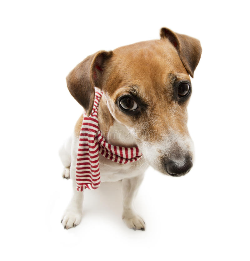 Écharpe élégante de chien images libres de droits