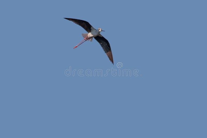 échasse Noir-à ailes images stock