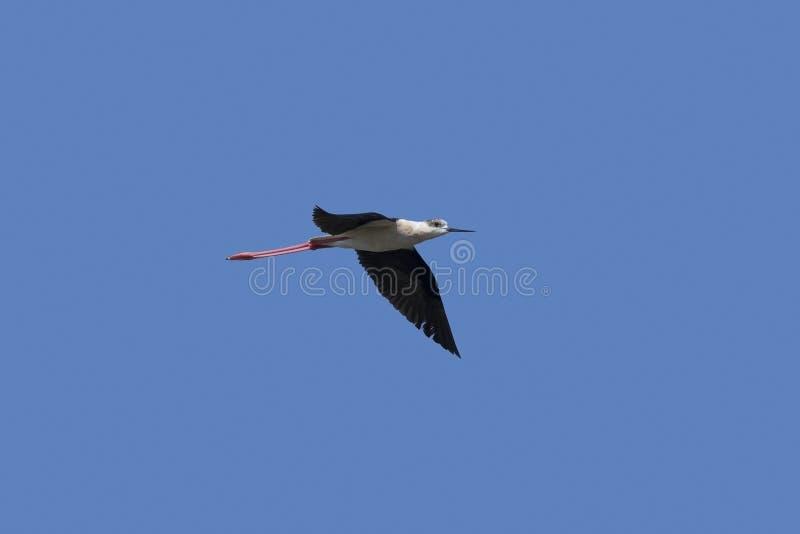 échasse Noir-à ailes en vol photo libre de droits