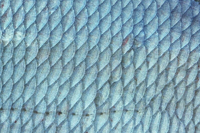 Échelles de poissons de brème, modifiées la tonalité images libres de droits