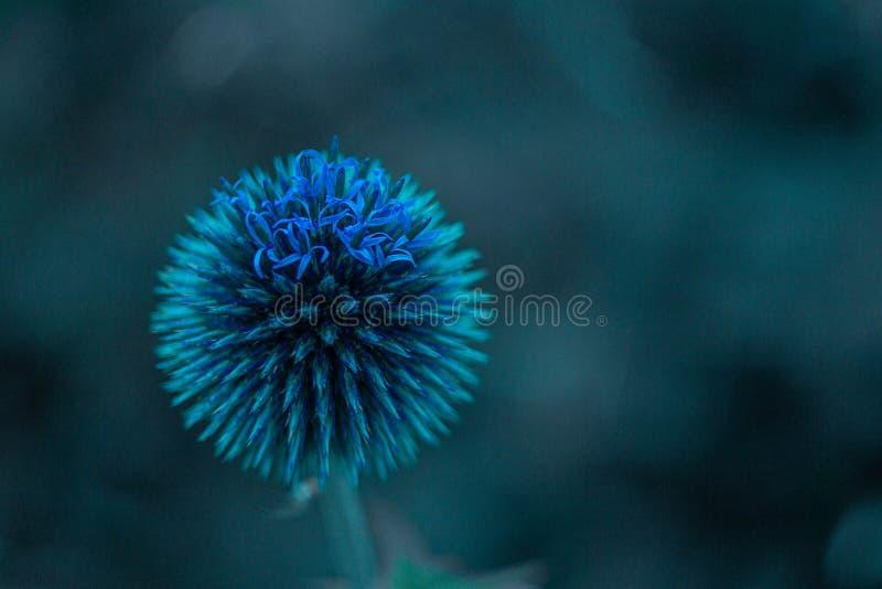 Échinops - fleur cosmique solitaire en bleu image stock