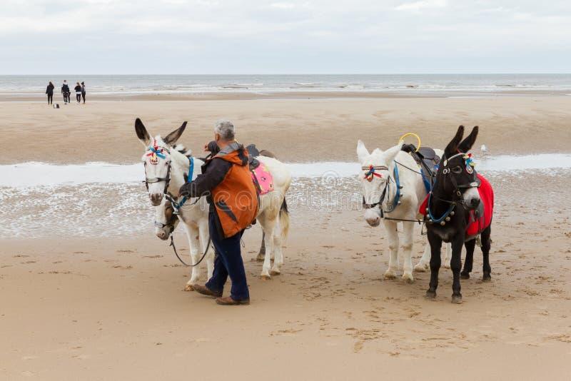 Échouez les ânes de tour à la plage un jour nuageux photos stock