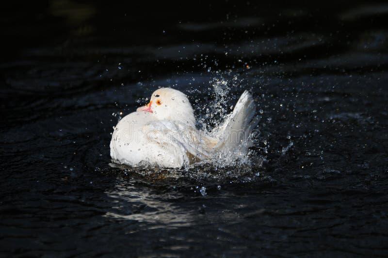 Éclaboussement blanc de canard image stock
