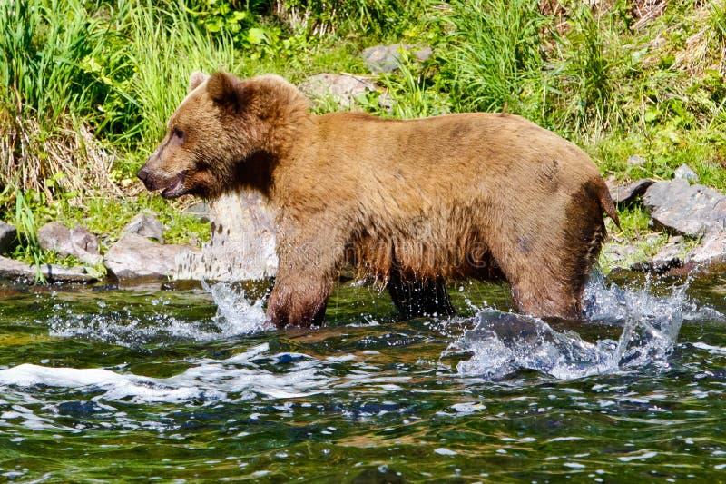 Éclaboussement saumoné d'ours gris de l'Alaska Brown photos stock