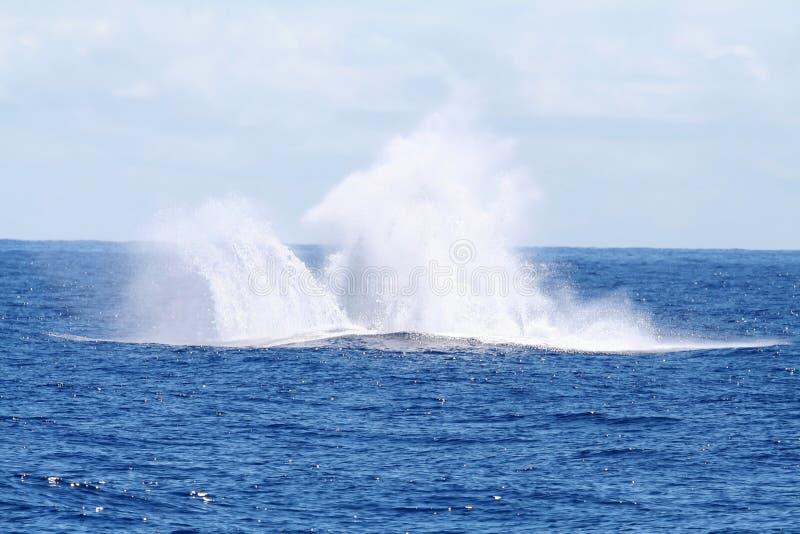Éclaboussure de brancher de baleine photo stock