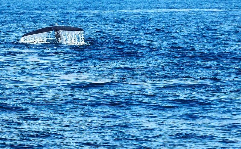 Éclaboussure de l'eau de baleine de bosse de queue avec baisses photos libres de droits