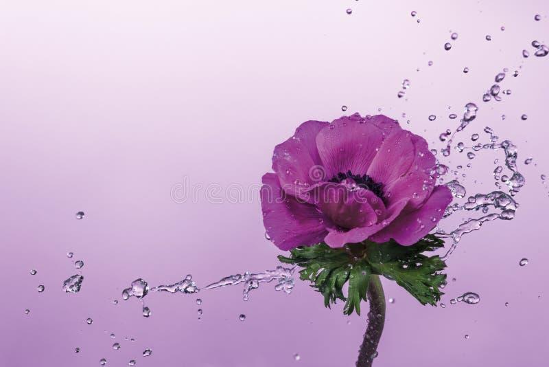 Éclaboussure de l'eau sur la fleur d'anémone image libre de droits