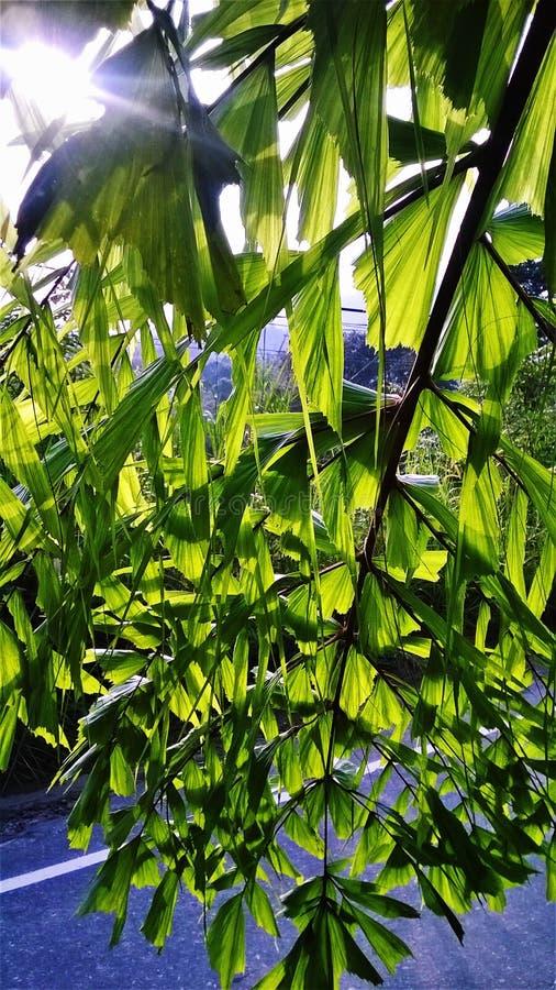 Éclat de Sun avec l'arbre de Kithul images stock
