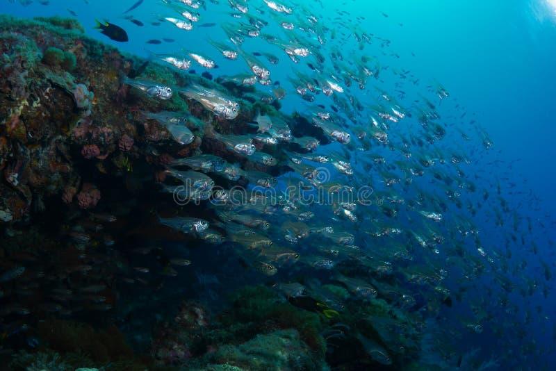 École des glassfish Ontario l'épave de solides solubles Yongala photo libre de droits