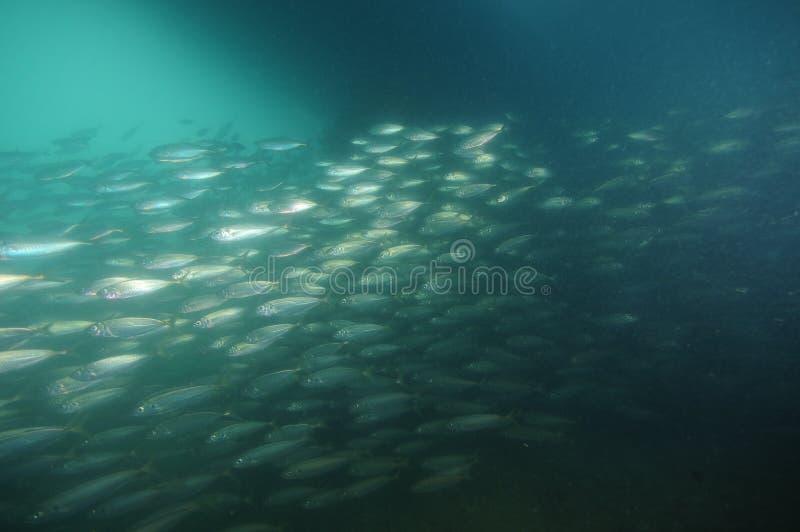 École des poissons argentés dans l'eau sombre image stock