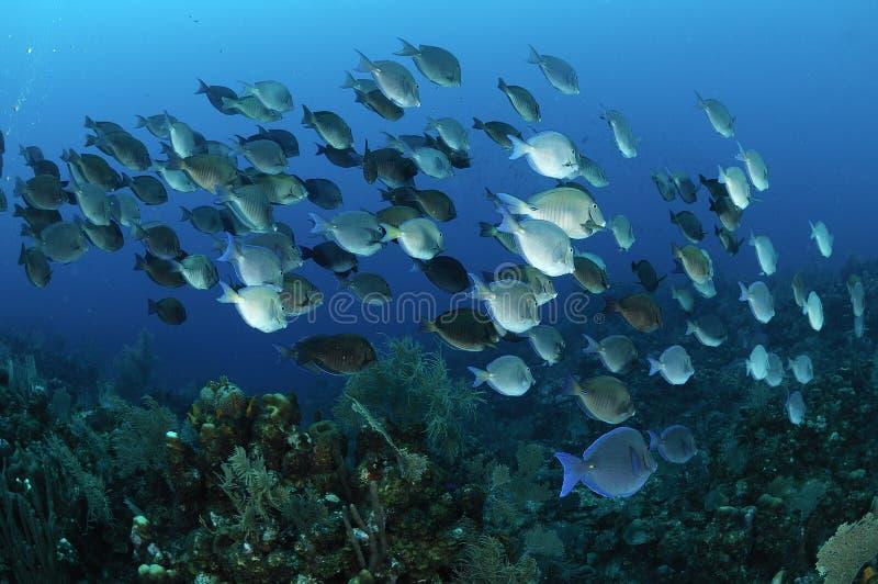 École des poissons bleus de patte photographie stock libre de droits