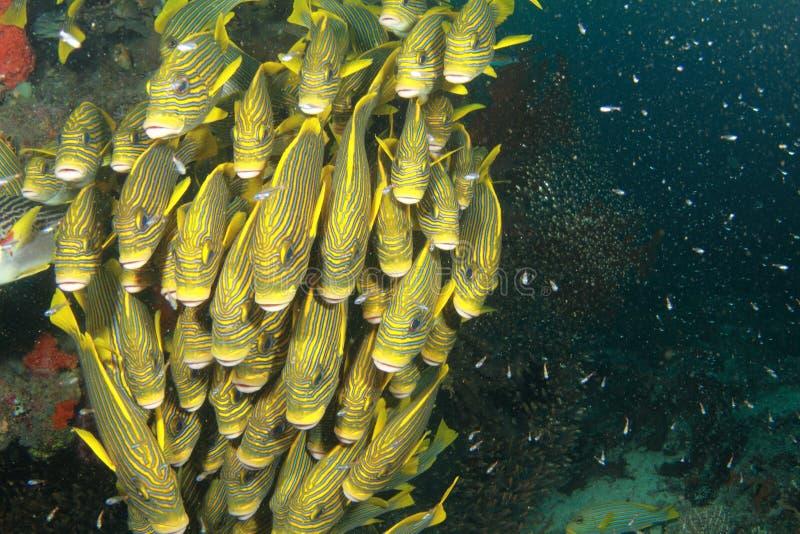 École des poissons jaunes photos libres de droits