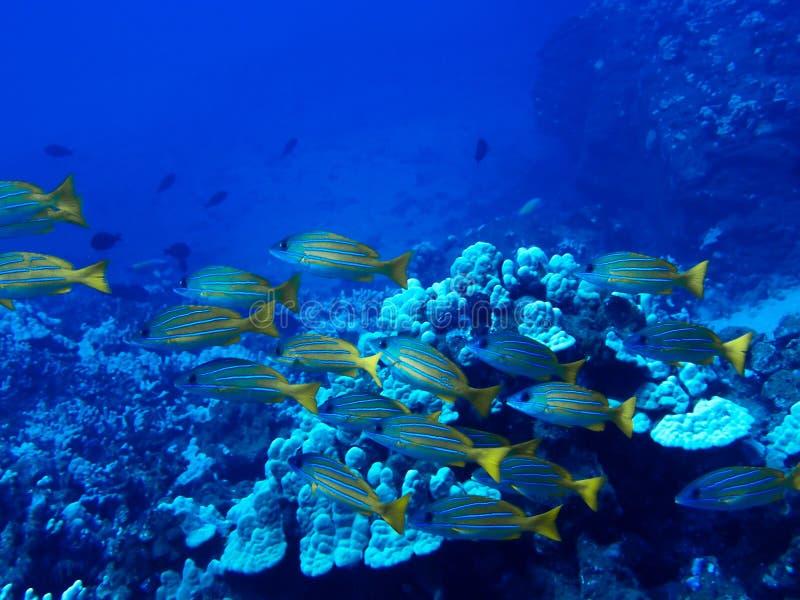 École des poissons jaunes avec le bain bleu de Stirpes au-dessus du récif Underwate image stock