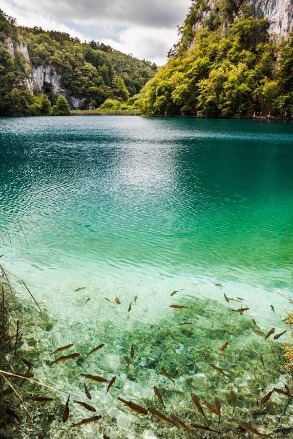 École des poissons nageant dans un lac de forêt dans l'eau clair comme de l'eau de roche de turquoise Plitvice, parc national, Cr image libre de droits