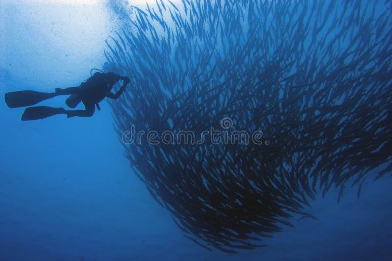 École et plongeur de Barracooda photo libre de droits