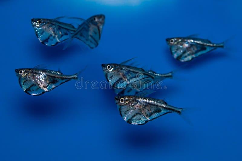 École marbrée de groupe de poissons de cognée photo stock