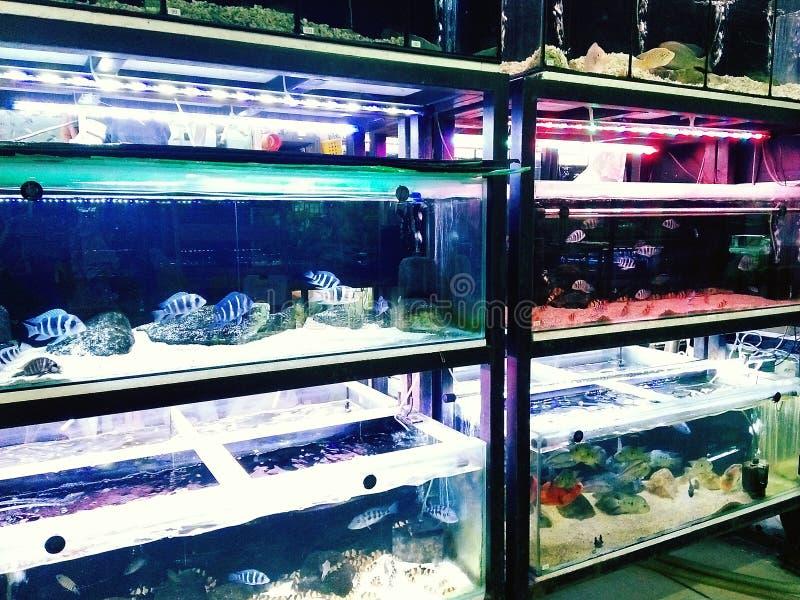 Écoles colorées de poissons d'aquarium photographie stock libre de droits