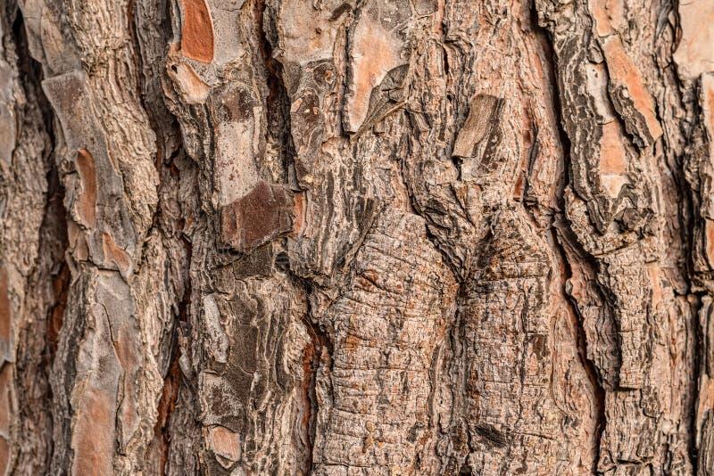 Écorce brune texturisée de grand arbre du sud photographie stock libre de droits