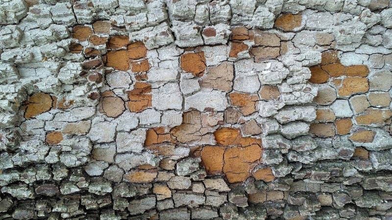 Écorce cendrée blanche d'arbre images libres de droits