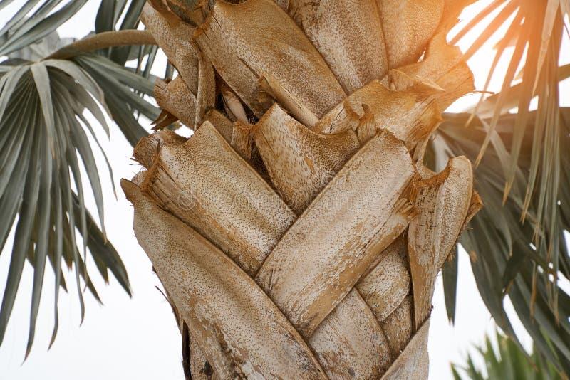 Écorce d'été exotique de texture de palmier sur le coucher du soleil de fond photos stock