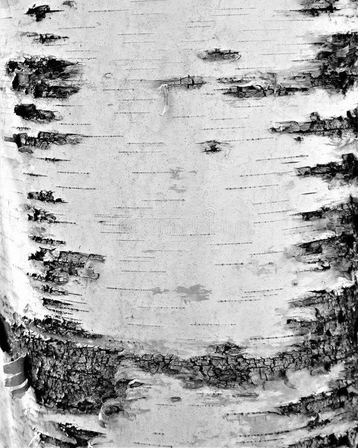 Écorce d'arbre photographie stock libre de droits