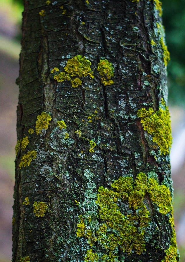 Écorce d'arbre avec de la mousse d'or photos stock