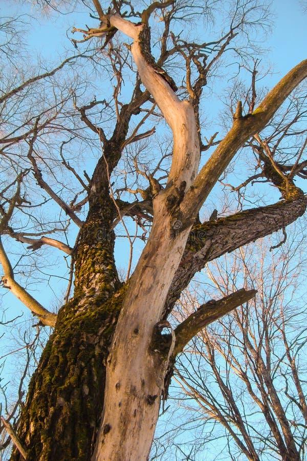 Écorce d'arbre avec le noeud photographie stock
