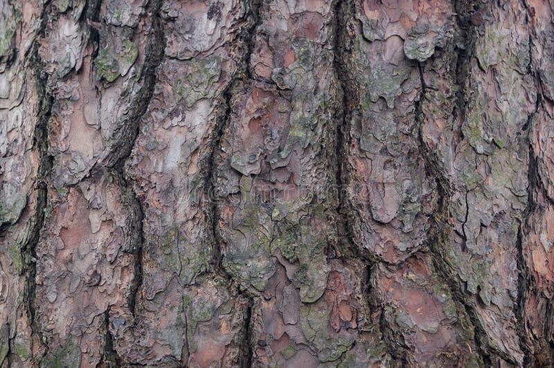 Écorce d'arbre cèdre pin conifére image libre de droits