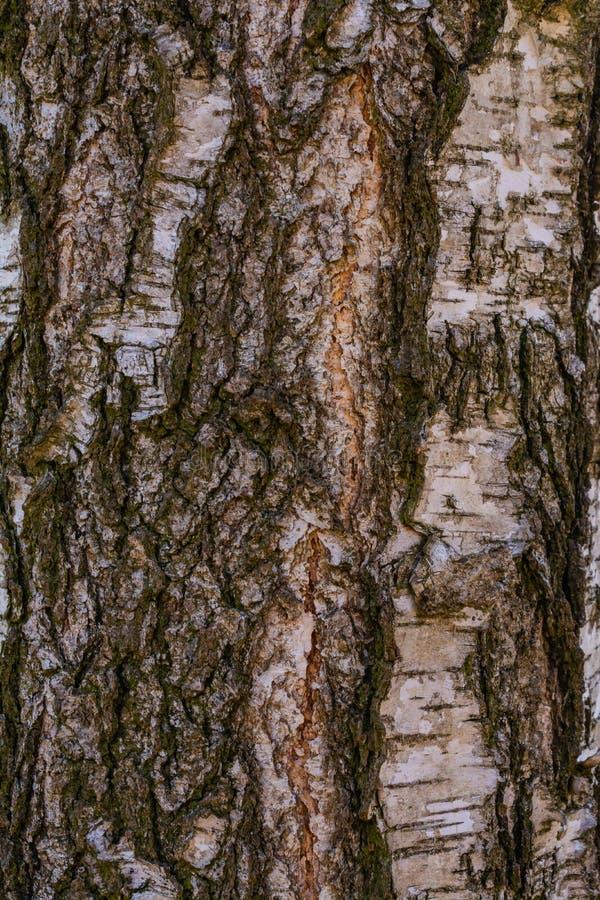 Écorce d'arbre de bouleau illustration stock