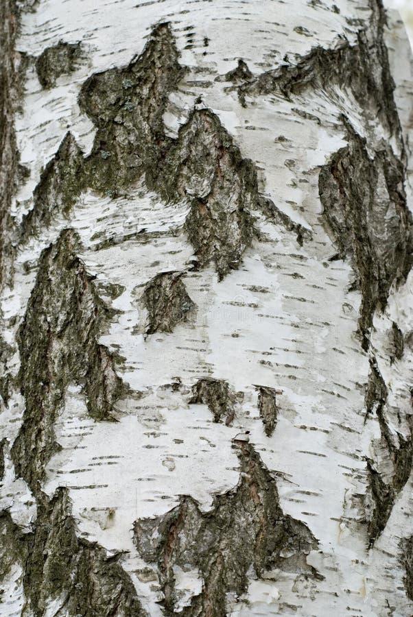 Écorce d'arbre de bouleau illustration de vecteur